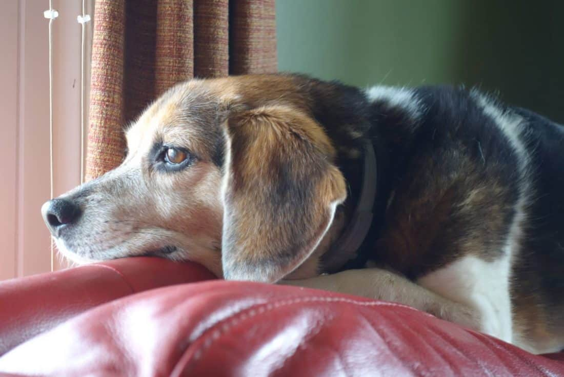 beagle looking out window