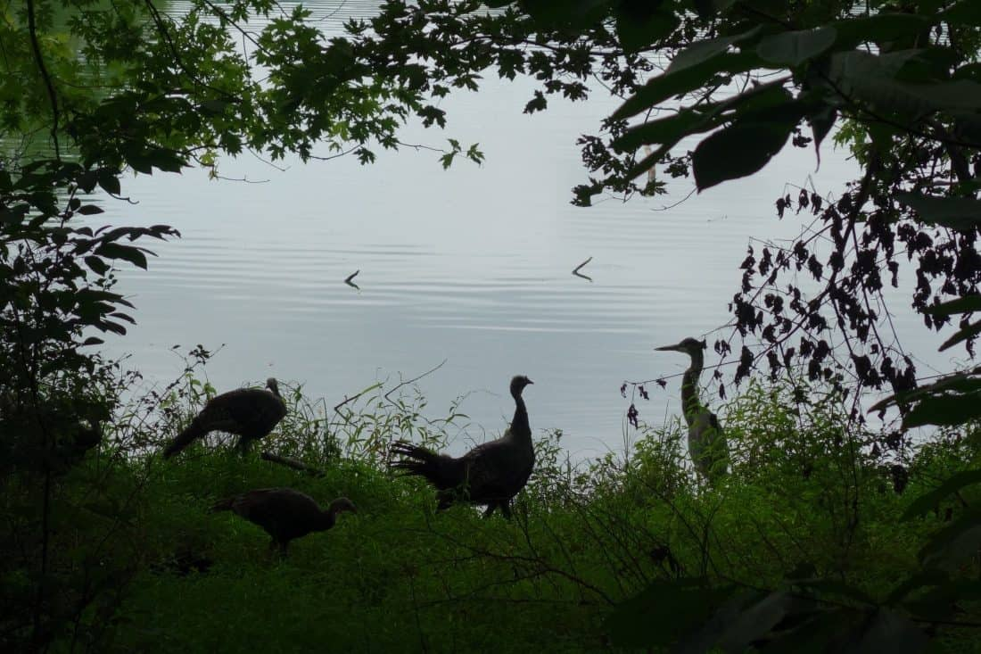 turkeys and tern next to lake
